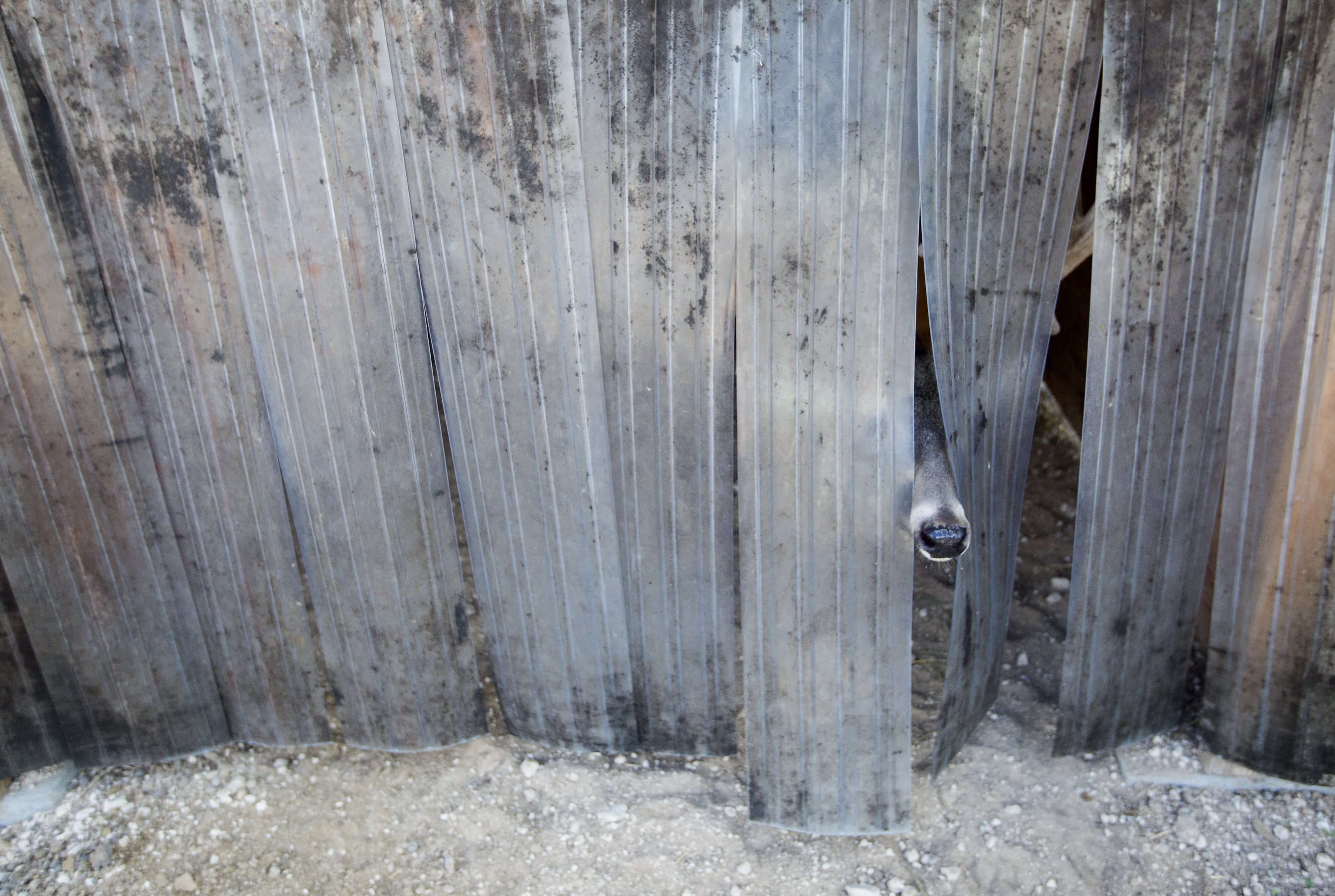 A white-tailed deer peeks from behind a fence at the Caesar Kleberg Wildlife Research Institute.