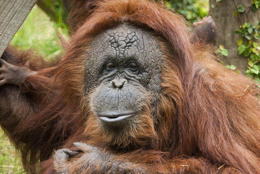 Houston Zoo orangutan Cheyenne (Credit: Stephanie Adams, Houston Zoo)