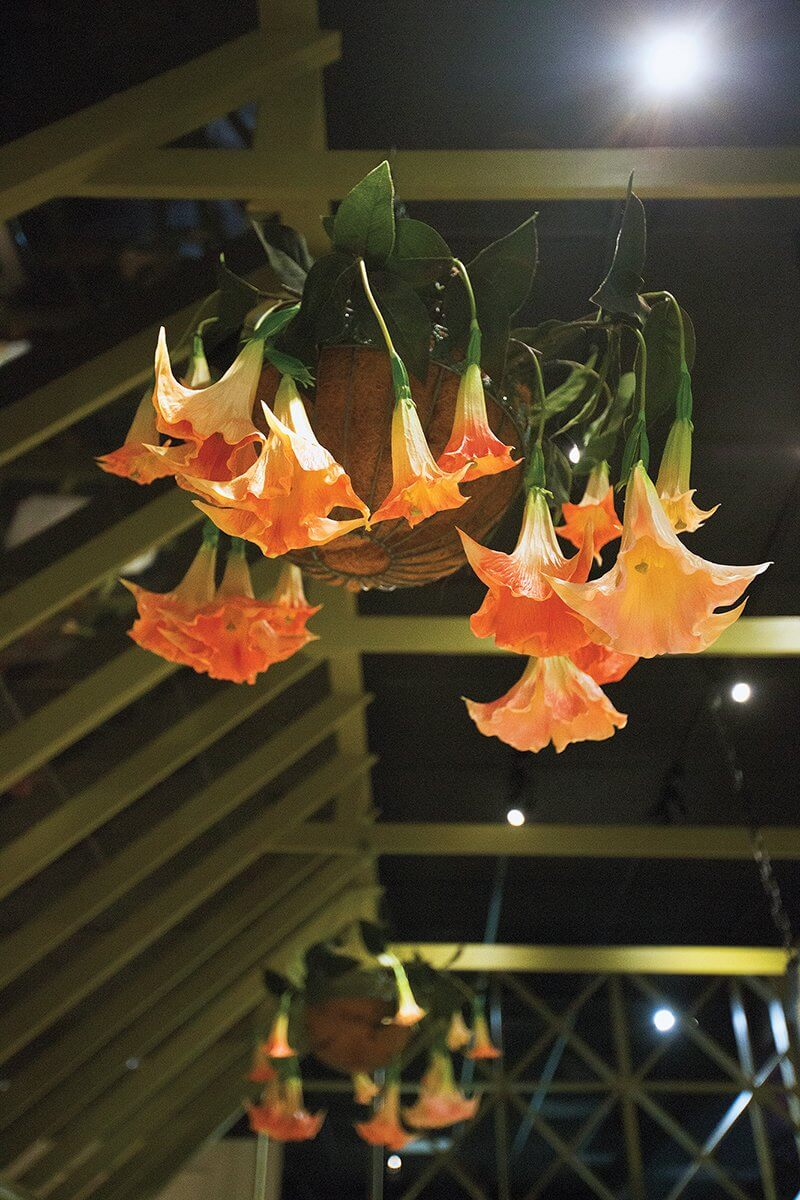 Angel trumpets dangle from the ceiling of the greenhouse portion of the exhibit.