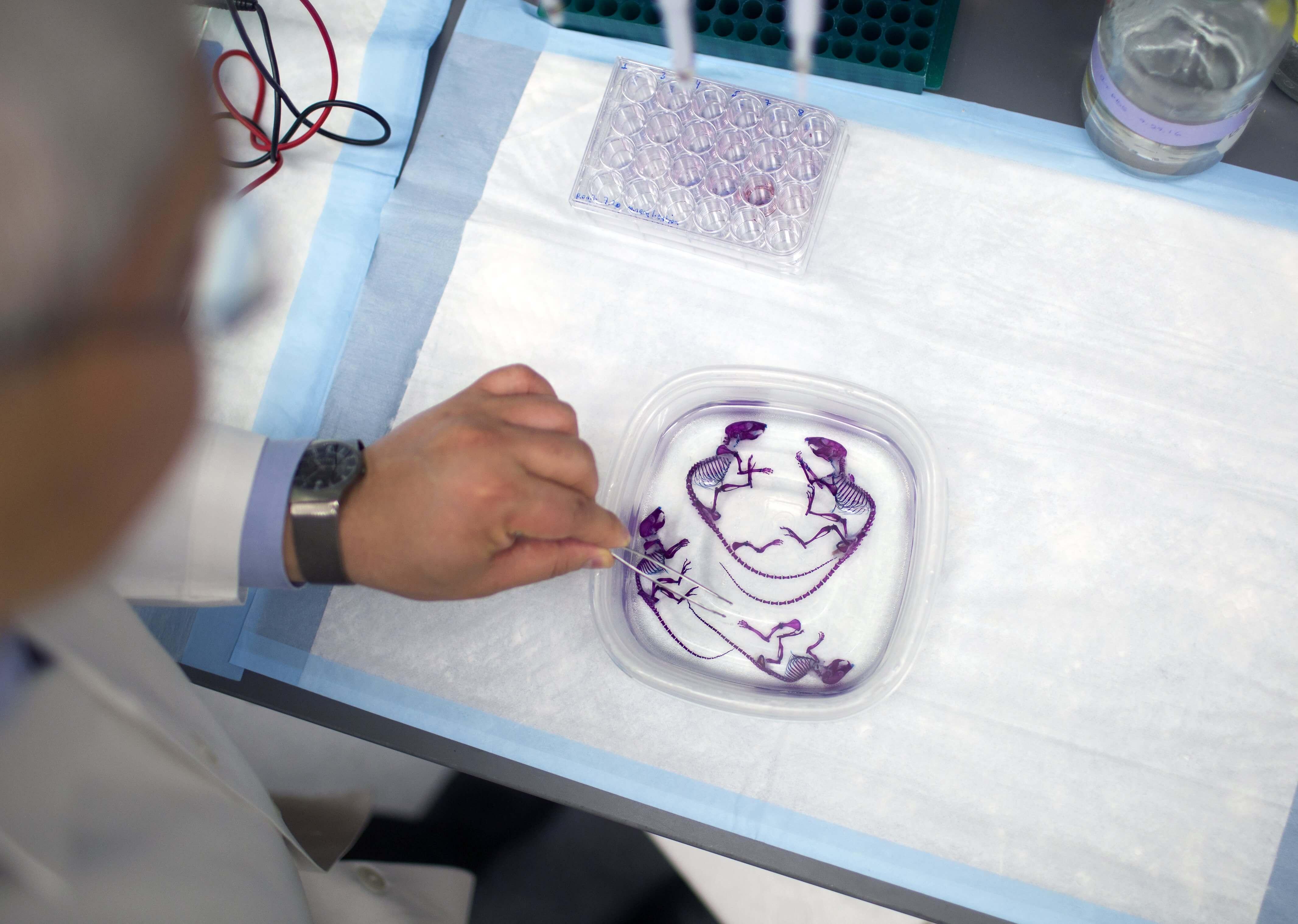 Brendan Lee, M.D., Ph.D., examines mice skeletons in the lab.