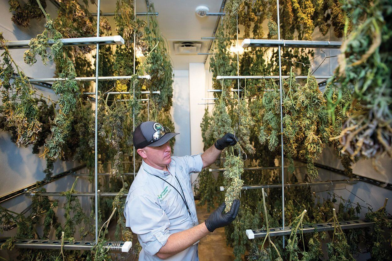 Taylor Kirk, director of cultivation, hangs cannabis to dry at Compassionate Cultivation.