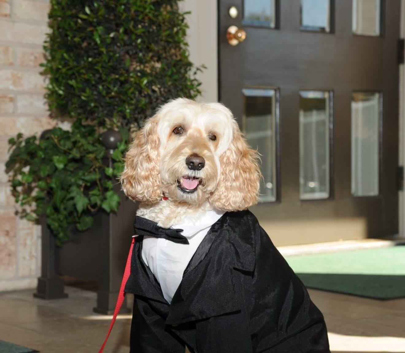 Mogie, key comfort ambassador at Ronald McDonald House Houston, in formal wear.