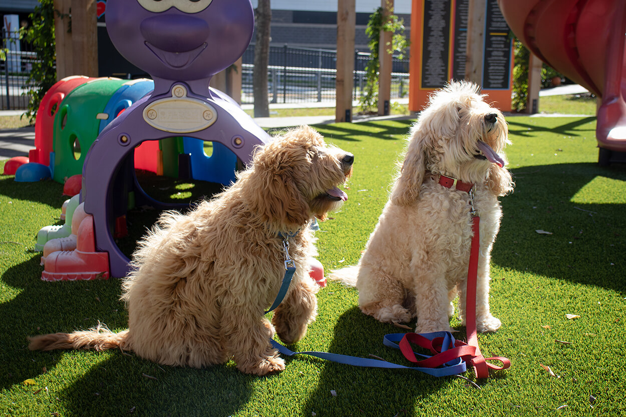 The 10-year-old Mogie, right, who retired in 2018, returned to Ronald McDonald House Houston in February for a photo shoot with the new Mogie, left. (Photo by Marc Morris, Ronald McDonald House Houston)