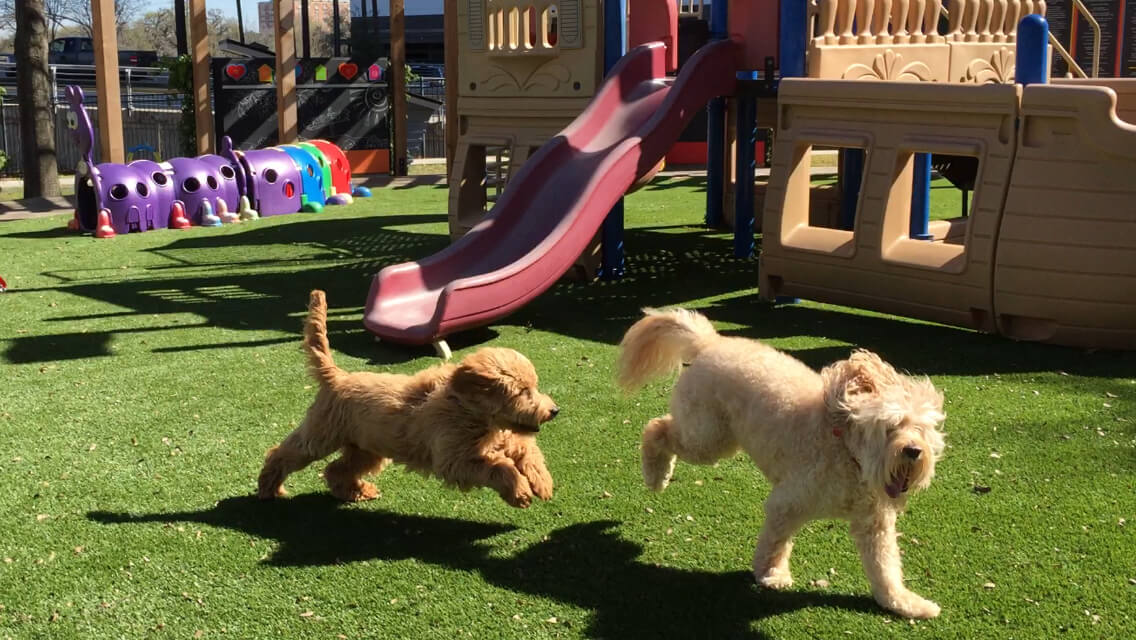 The 10-year-old Mogie, right, who retired in 2018, returned to Ronald McDonald House Houston in February for a photo shoot, and is chased by the new Mogie, left, who was born in July 2018.