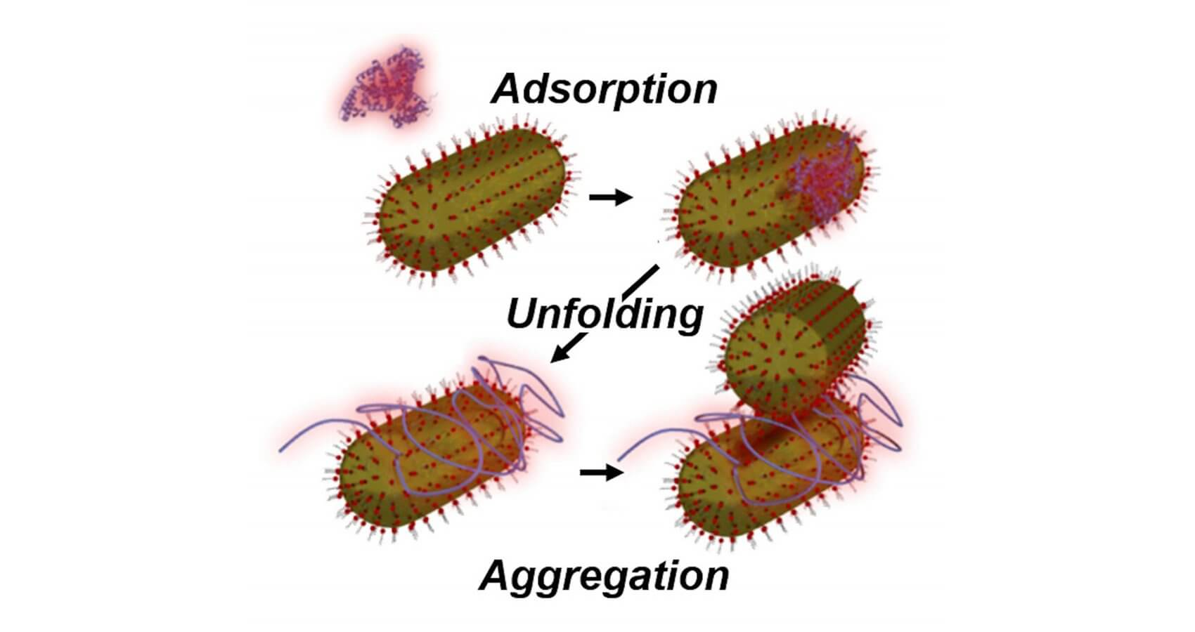Rice University researchers observed nanoparticle aggregation induced by low concentrations of unfolded serum albumin proteins. They believe the proteins unfold upon binding to gold nanoparticles and prevent other proteins from joining them to form a protective casing around the particle.