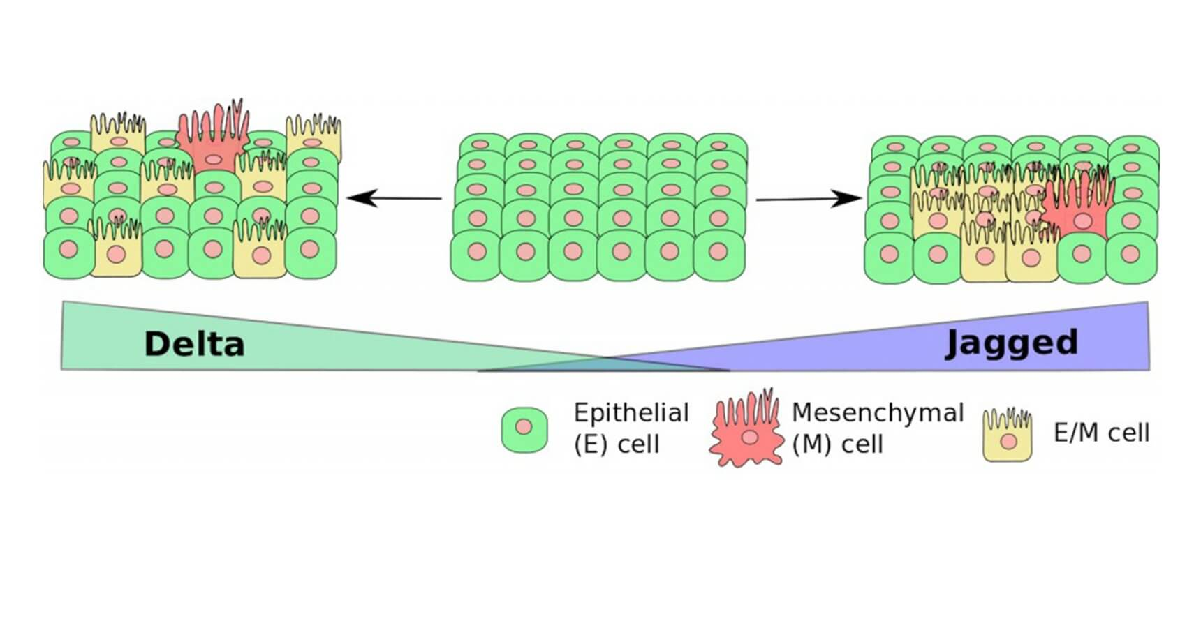 Epithelial cells normally become mesenchymal cells under the influence of a notch-signaling protein called delta, but they can become hybrid epithelial-mesenchymal cells under the influence of jagged proteins when the signaling system is hijacked by cancer, according to Rice University researchers. These hybrid cells can communicate with each other, cluster and metastasize to other parts of the body. Illustration by Marcelo Boareto