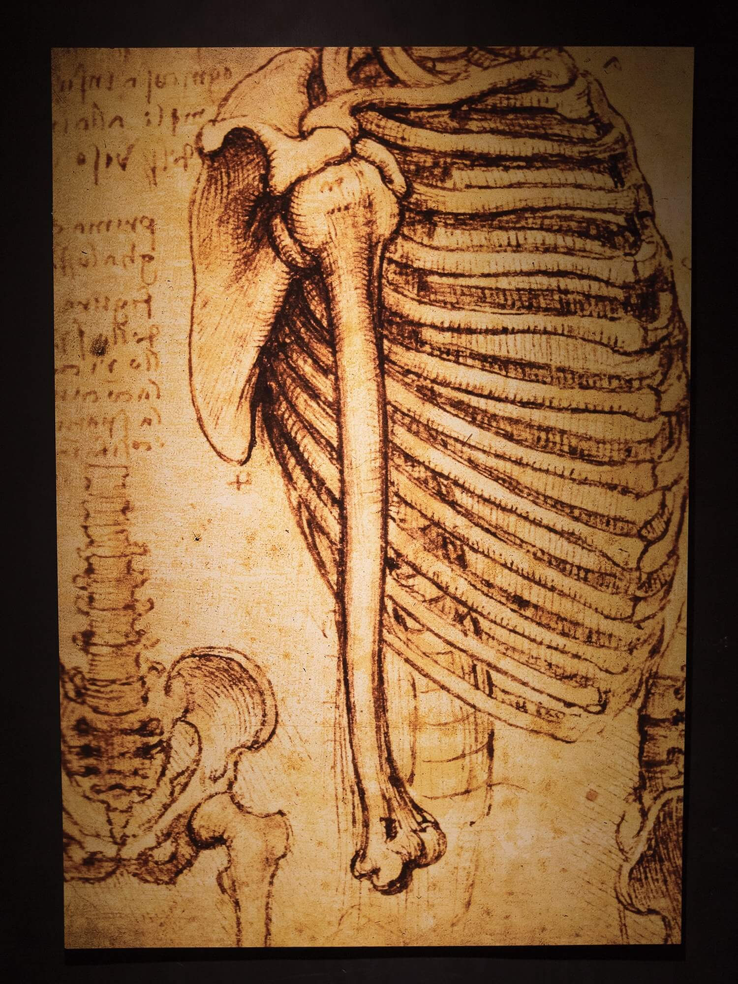 Copies of anatomical sketches by Leonardo da Vinci are on display at Moody Gardens.