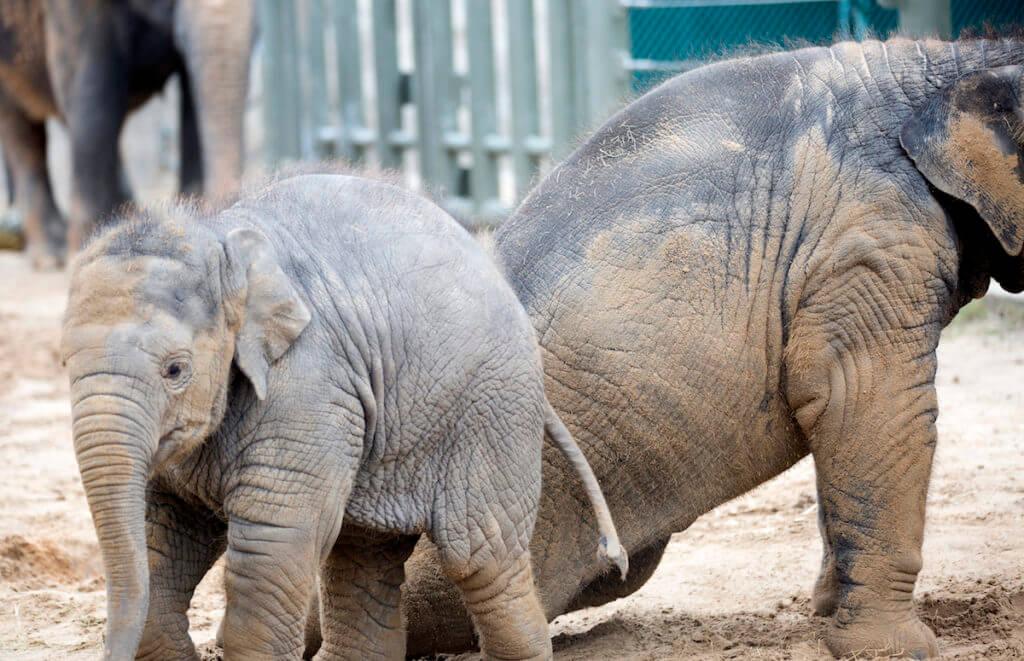 elephant_herpes