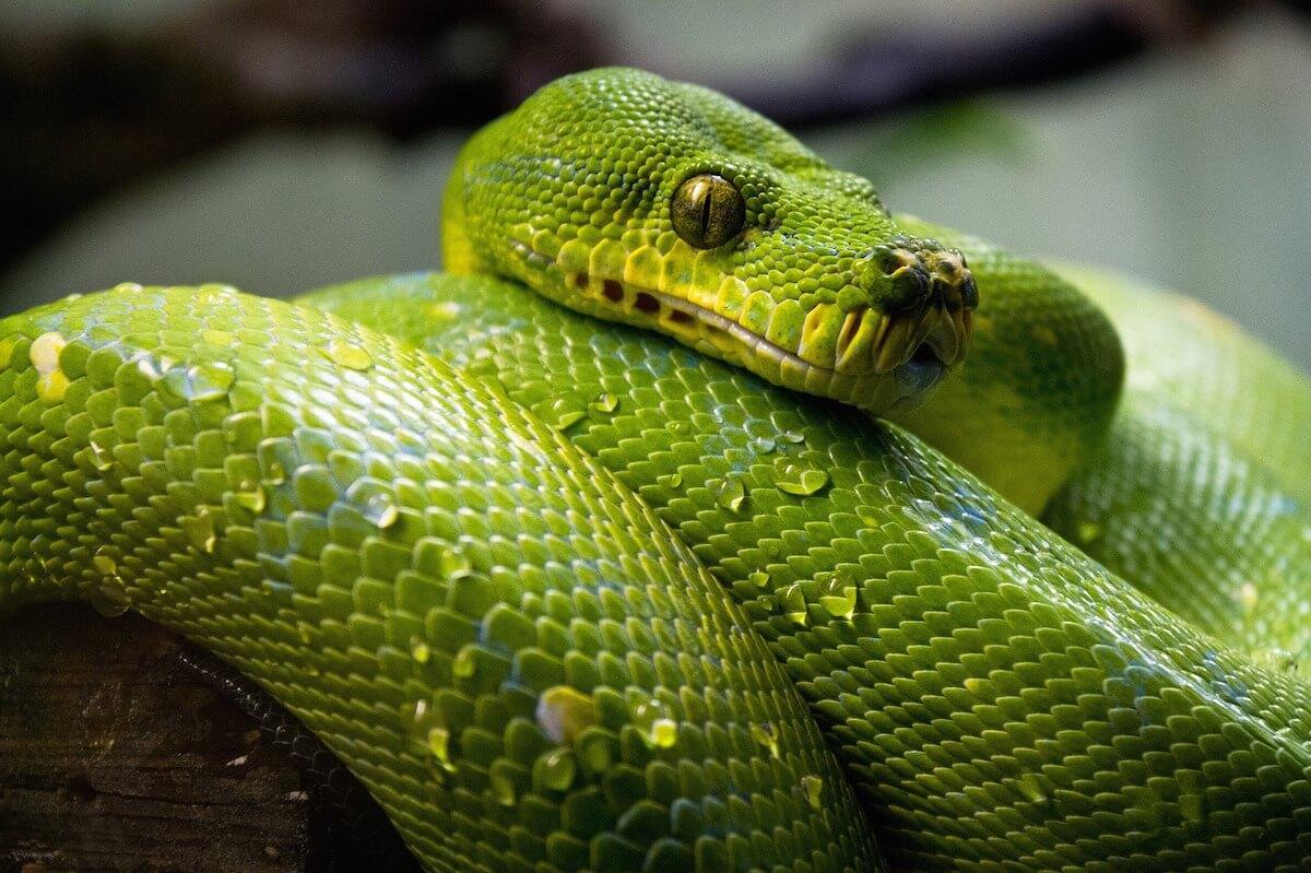 Green tree python (Credit: pixabay)