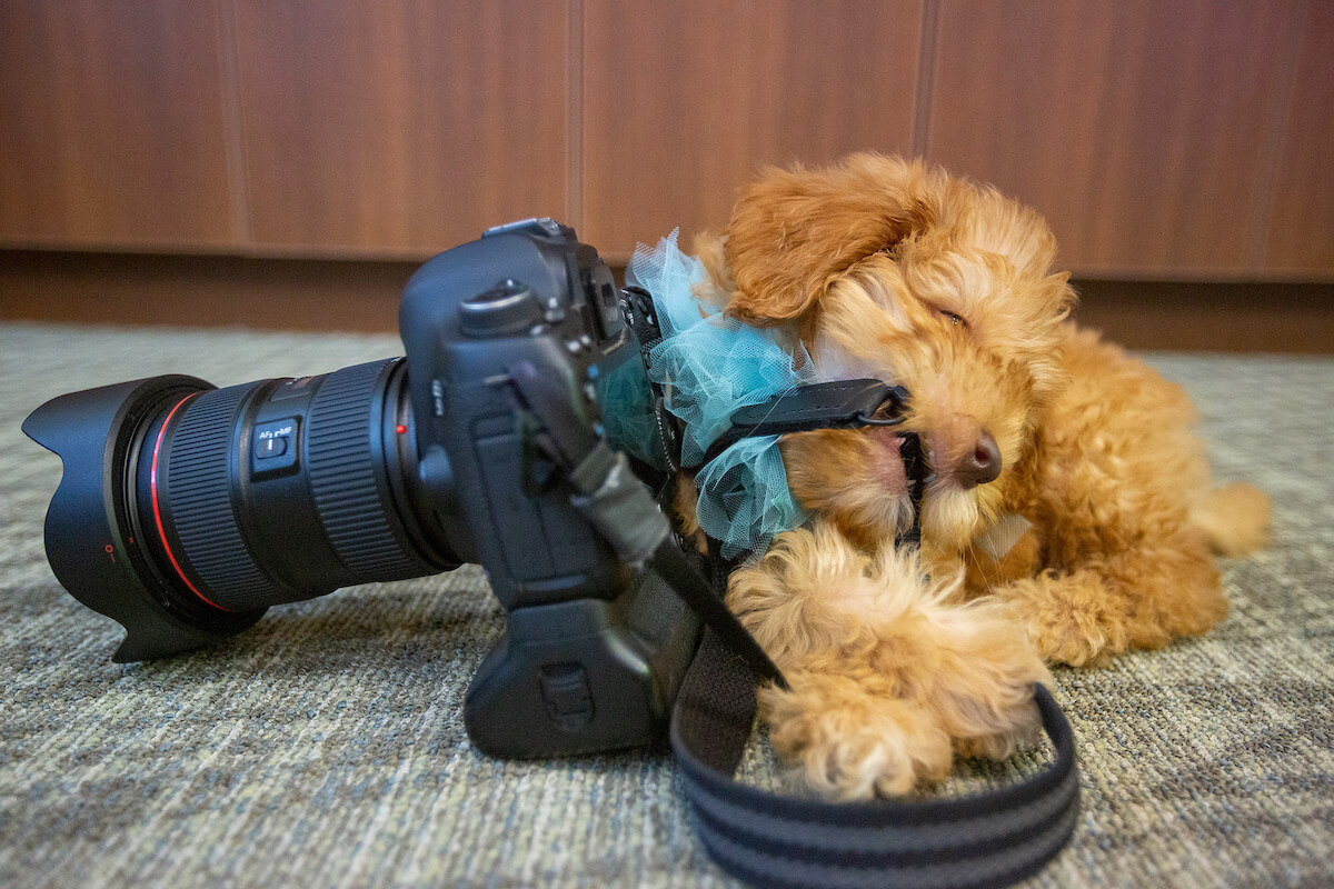 Mateo, a 10-week-old Australian Labradoodle puppy granted to 19-year-old bone cancer survivor Paula Gómez Rodriguez at Ronald McDonald House Houston on August 22, 2019 by Stuff the Sleigh, displays his young chewing tendencies.